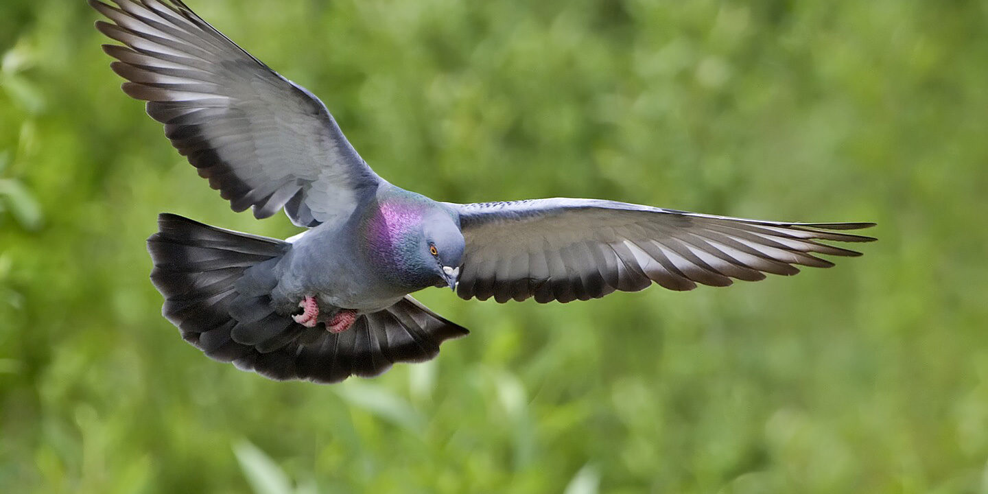 Rock_dove_-_natures_pics
